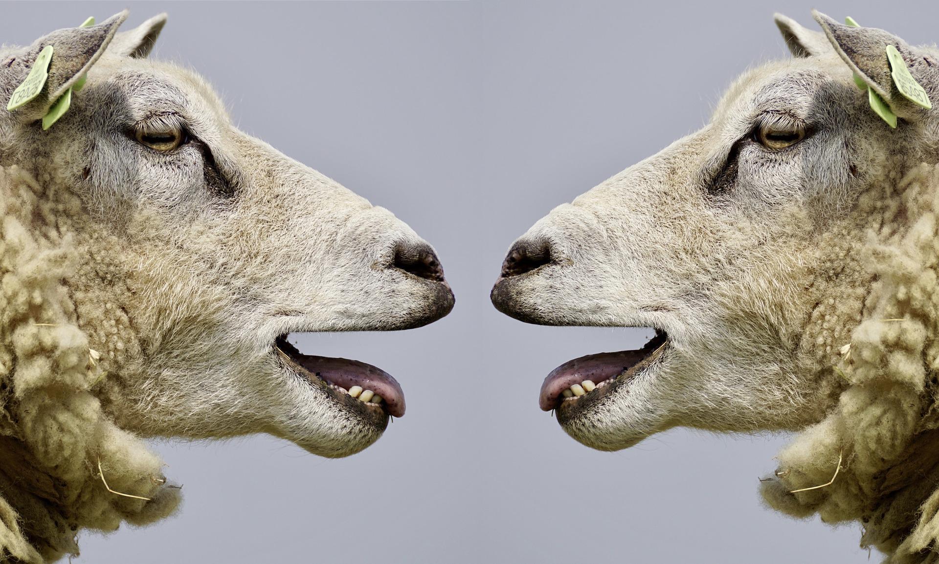 議論する羊