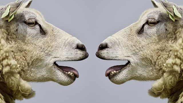 面接の受け答えをしているような羊たち